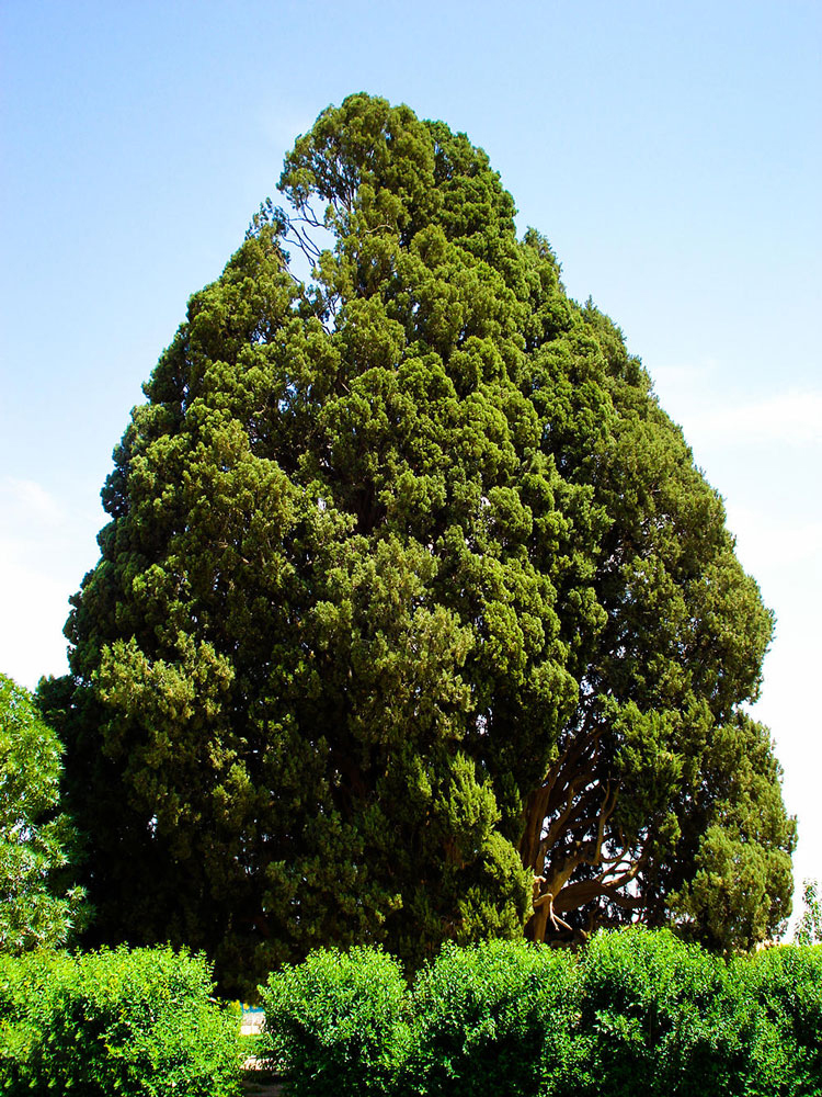 Sarv-e Abarkuh ( Cypress of Abarkuh )