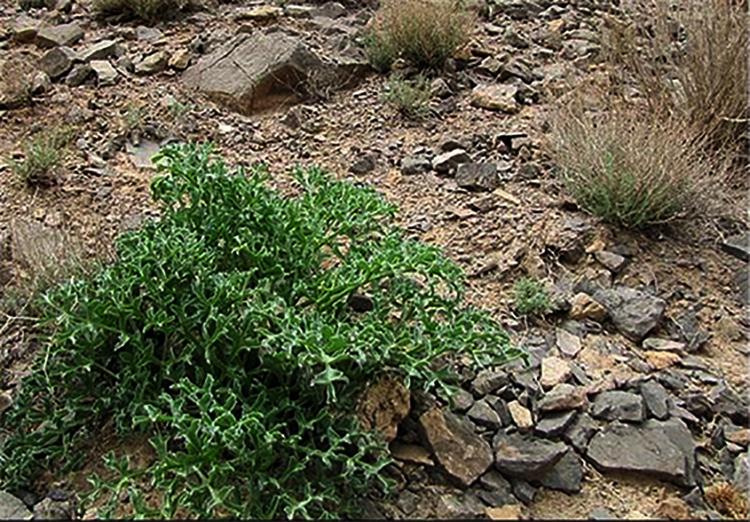 گیاهان منطقه حفاظت شده کوه بافق
