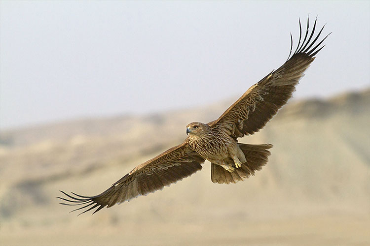 گونه های پرندگان منطقه حفاظت شده سیاهکوه اردکان