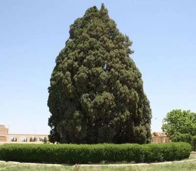 سرو 4500 ساله ابرکوه ثبت جهانی میشود