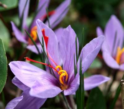 جشنواره برداشت زعفران بهاباد