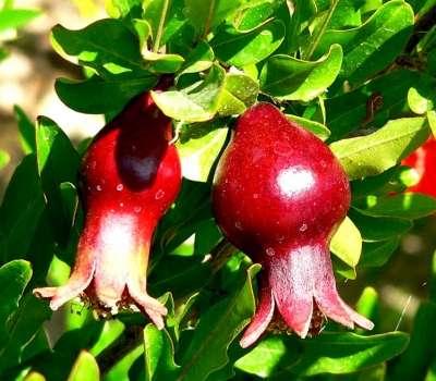 تفت؛ میزبان نخستین جشنواره گل انار