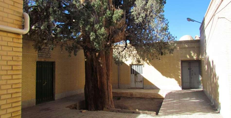 Cham Cypress