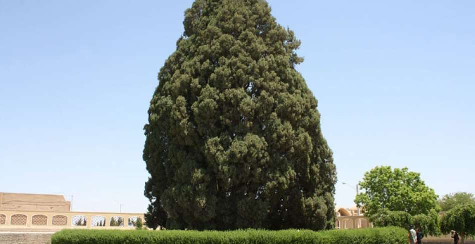 Old Cypresses
